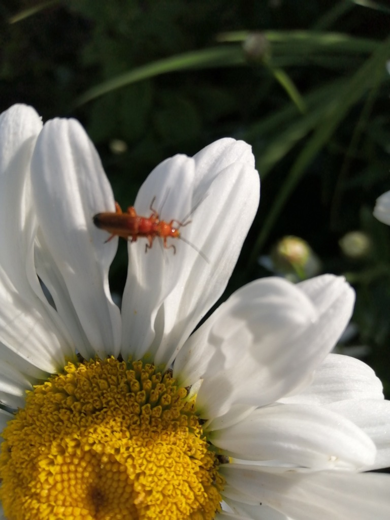 A common red soldier beetle keeping the aphids at bay.